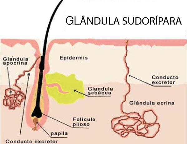 GLANDULA-SUDORIPARA-