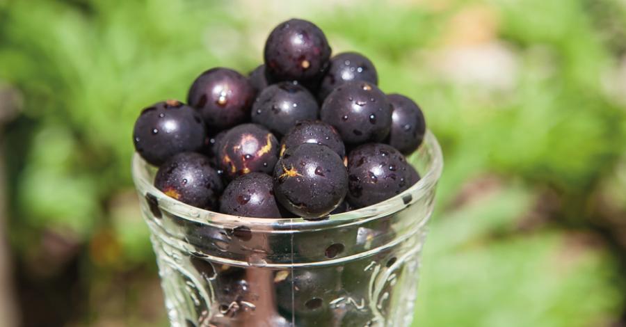 Jabuticaba: a deliciosa frutinha brasileira