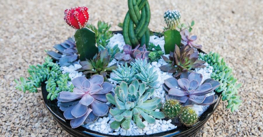 Suculentas: plantas fáceis de cuidar e que enfeitam o ambiente