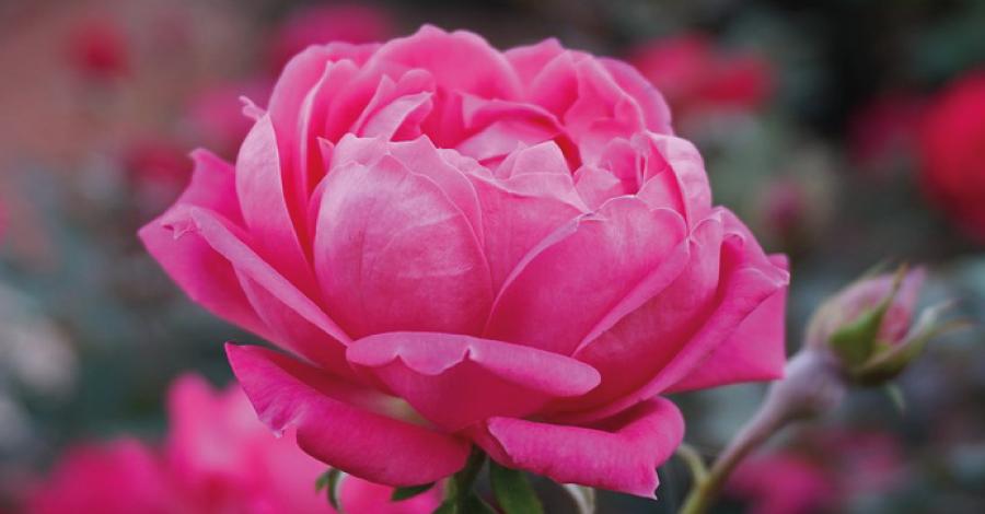 11 Flores comestíveis e dicas de consumo
