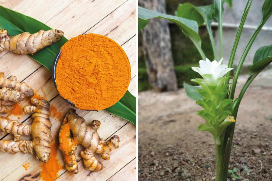 Cúrcuma ou açafrão-da-terra: aprenda a plantar