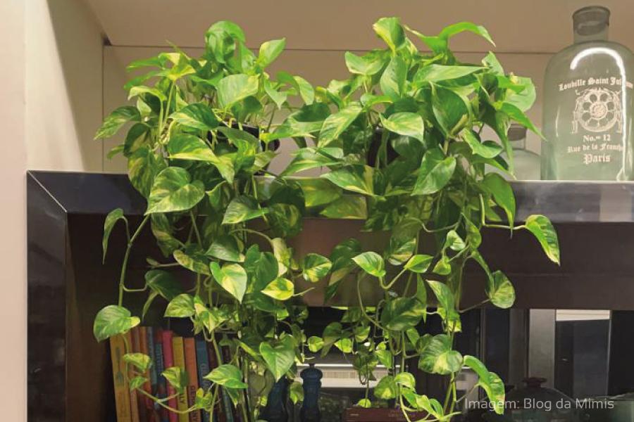 Plantas em casa – Conheça a Jiboia